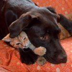 Labrador Retriever und Katze