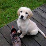 Heller Labrador Retriever