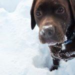 Labrador Retriever im Schnee