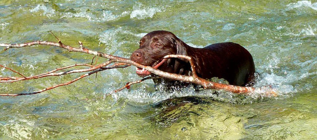 Labrador schwimmt im Fluss