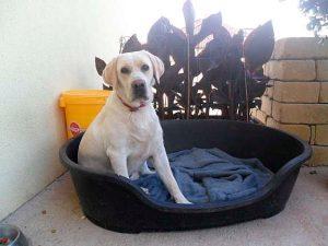 Labrador Retriever sitzt in seinem Kisterl