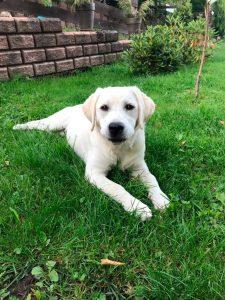 Labrador Retriever im Garten