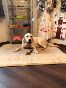 Labrador Retriever liegt am Boden