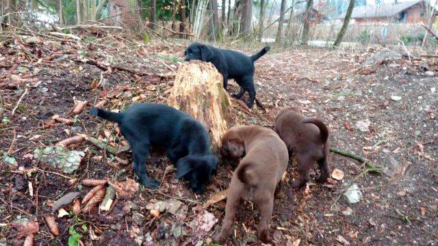 Labrador Retriever Welpen beim Spielen im Wald