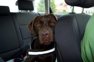 Labrador Retriever im Auto, lehnt seinen Kopf an den Sitz