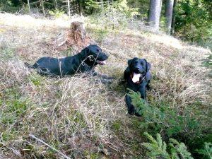 Labrador Retriever liegen im Wald