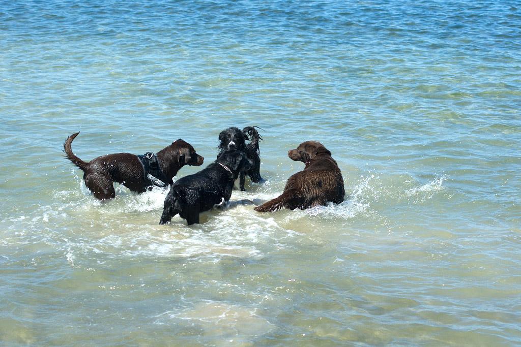 Labrador Retriever im Wasser