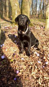 Labrador Retriever Welpe sitzt im Wald