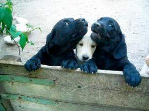 Labrador Retriever Welpen beim Kuscheln