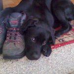Labrador Retriever kuschelt mit Bergschuh