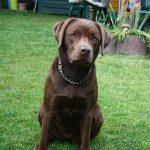 Labrador Retriever sitzt in der Wiese