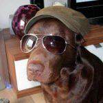 Labrador mit Kapperl und Sonnenbrille