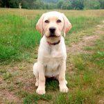 blonder Labrador-Welpe sitzt am Weg, der durch eine Wiese führt