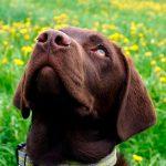 brauner Labrador blickt nach oben