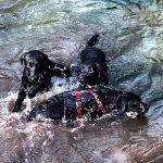 schwarze Labrador-Hunde spielen im Wasser