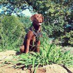 Brauner sitzender Labrador mit Geschirr
