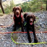 Braune Labrador-Hunde beim Wandern