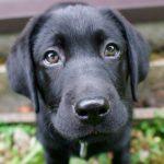 Dunkler Labrador Retriever