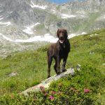 Labrador Retriever in den Zillertaler Alpen