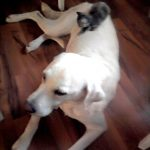 Labrador Retriever mit kleinem Kätzchen am Rücken