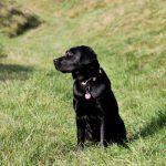 Dunkler Labrador Retriever auf der Alm