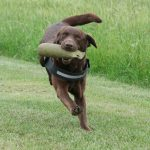 Labrador Retriever beim Training