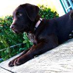 junger dunkelbrauner Labrador