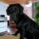 schwarzerLabrador sitzt im Wohnzimmer