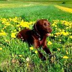 Brauner Labrador rastet in der Blumenwiese